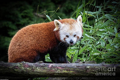 Classical Masterpiece Still Life Paintings - Red Panda Portrait by Mitch Shindelbower