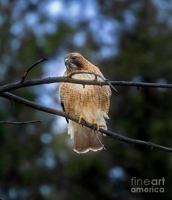 Steven Krull Royalty-Free and Rights-Managed Images - Red Tailed Hawk in Eleven Mile Canyon by Steven Krull