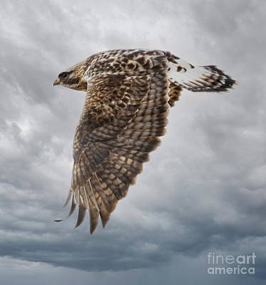 Steven Krull Royalty-Free and Rights-Managed Images - Rough Legged Hawk in Flight by Steven Krull