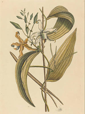 Drawing - The Vanelloe, Epidendrum Vanilla by Mark Catesby