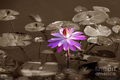Water Droplets Sharon Johnstone - Water Lily by Randy J Heath