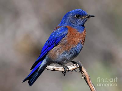 Animals Photos - Western Blue by Mike Dawson