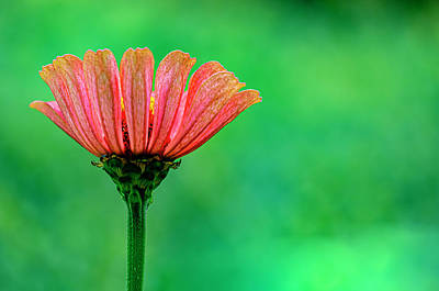 Royalty-Free and Rights-Managed Images - Zinnia by Robert Ullmann