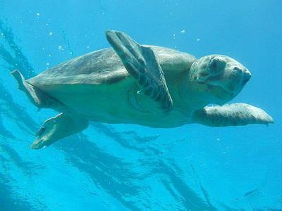 Railroad - Sea Turtle Caretta - Caretta Zakynthos Island Greece by GiannisXenos Underwater Photography