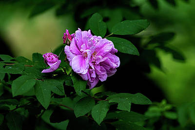 Lucille Ball - Roses by Robert Ullmann