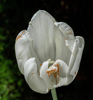 Winter Animals Rights Managed Images - Dying Tulip Royalty-Free Image by Robert Ullmann