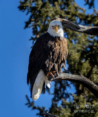 Steven Krull Royalty-Free and Rights-Managed Images - Bald Eagle in Eleven Mile Canyon by Steven Krull
