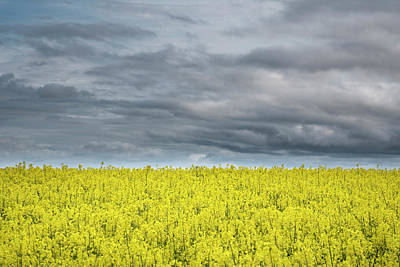Pasta Al Dente - Beautiful moody agricultural canola rapeseed field in English co by Matthew Gibson