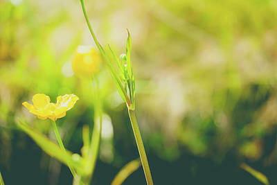 Royalty-Free and Rights-Managed Images - Close up of a Common Buttercup flower by David Ridley