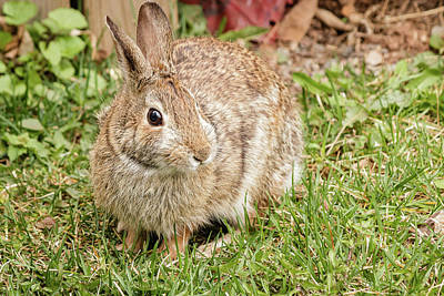 World War 2 Action Photography Royalty Free Images - Eastern Cottontail rabbit Royalty-Free Image by SAURAVphoto Online Store