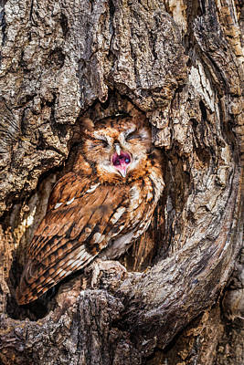 Photograph - Eastern Screech Owl by Matt Cuda
