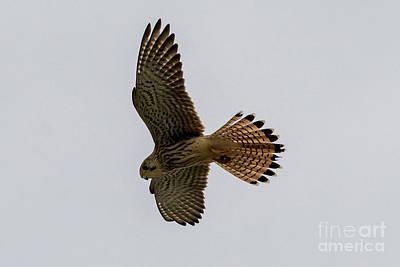Unicorn Dust - Eurasian Kestrel Falco tinnunculus Costa Ballena Cadiz by Pablo Avanzini
