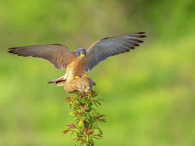 Science Collection Rights Managed Images - Lesser kestrel - Falco naumanni Royalty-Free Image by Jivko Nakev