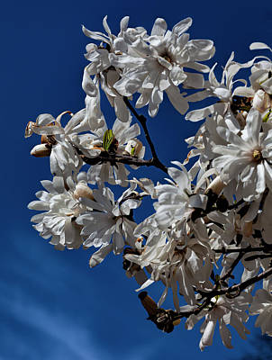 Animal Portraits - Magnolias Blossoms by Robert Ullmann