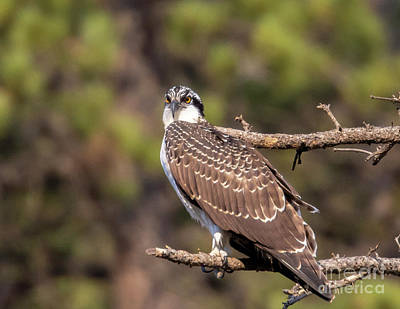 Steven Krull Royalty-Free and Rights-Managed Images - Osprey Carrying a Fish by Steven Krull