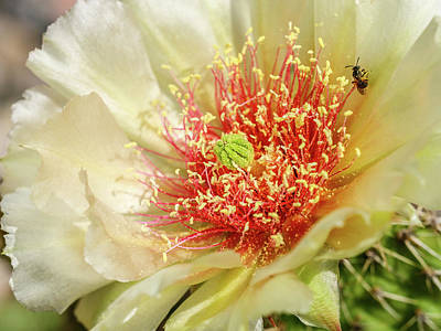 Photograph - Pollinator on a Prickly Pear Cactus Bloom by Rob Huntley