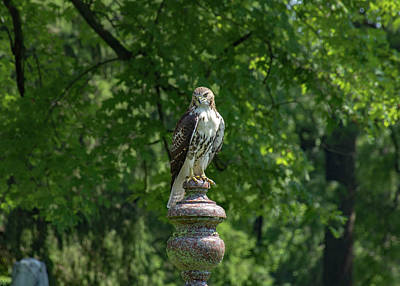 Photograph - Red Tailed Hawk by Cheryl Dumoulin