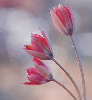 Vintage Performace Cars - Tulips Little beauty by Iwona Sikorska
