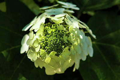 Door Locks And Handles Rights Managed Images - Hydrangea Royalty-Free Image by Robert Ullmann