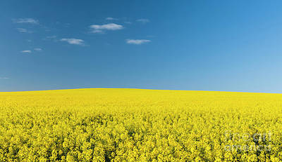 Royalty-Free and Rights-Managed Images - Canola Field by THP Creative