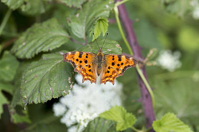 Photograph - Comma Butterfly by Pietro Ebner