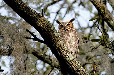 Target Threshold Nature Royalty Free Images - Great Horned Owl Royalty-Free Image by Colin Hocking