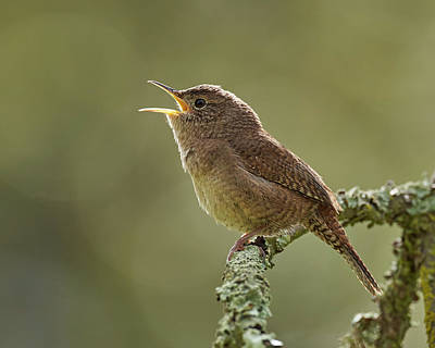 Animals Royalty-Free and Rights-Managed Images - House Wren, Sacramento County California by Doug Herr