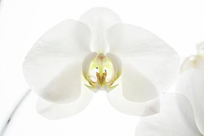 Unicorn Dust - White moth orchid by Bill Pusztai