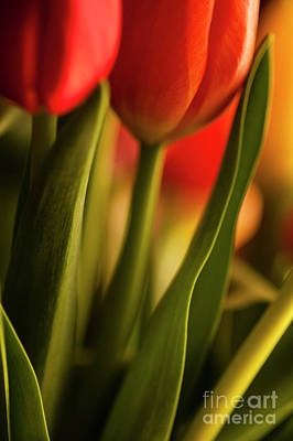 Still Life Royalty-Free and Rights-Managed Images - Window Light with Multicolored Tulips by Jim Corwin
