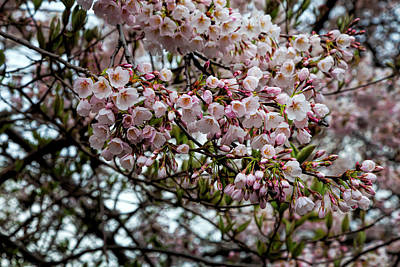 Science Collection Rights Managed Images - Cherry Blossoms Royalty-Free Image by Robert Ullmann