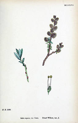 Water Droplets Sharon Johnstone - Coloured figures of British plants London  by Artistic Panda