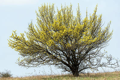 Fruits And Vegetables Still Life - A flowering cornelian cherry dogwood in springtime by Stefan Rotter