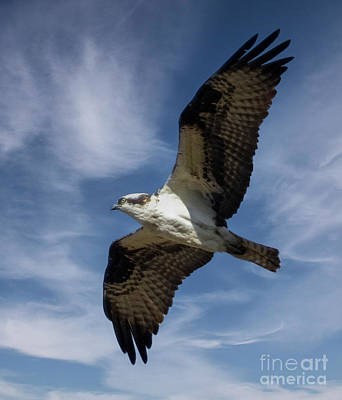 Steven Krull Royalty-Free and Rights-Managed Images - Osprey in Flight by Steven Krull