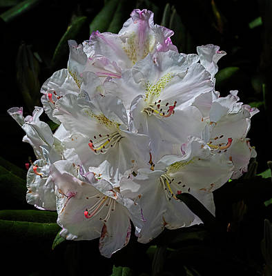 Winter Animals Rights Managed Images - Rhododendron Royalty-Free Image by Robert Ullmann