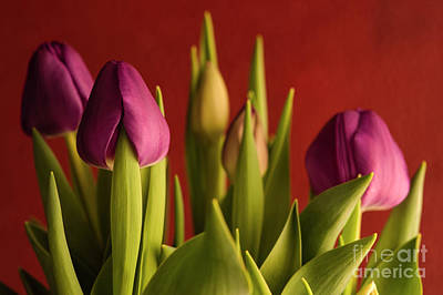 Still Life Royalty-Free and Rights-Managed Images - Window Light with Purple Tulips  by Jim Corwin