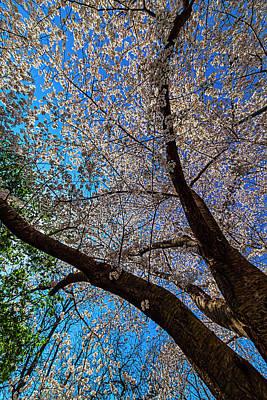 Ballerina Art - Cherry Blossoms by Robert Ullmann