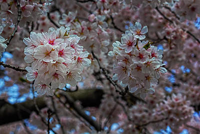 Mans Best Friend - Cherry Blossoms by Robert Ullmann