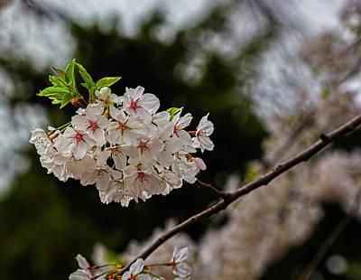 Truck Art - Cherry Blossoms by Robert Ullmann