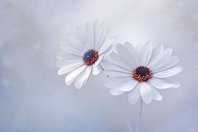 Namaste With Pixels Royalty Free Images - Osteospermum african daisy Royalty-Free Image by Iwona Sikorska