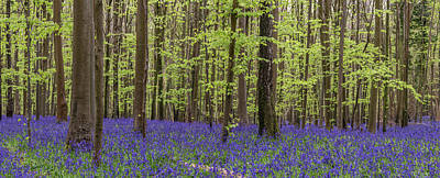 Sean Rights Managed Images - Beautiful soft spring light in bluebell forest in English countr Royalty-Free Image by Matthew Gibson
