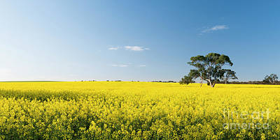 Photograph - Canola Field by Tim Hester