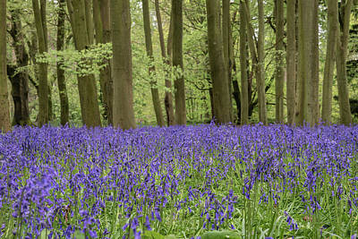 Truck Art Rights Managed Images - Lovely soft Spring light in bluebell woodland with vibrant color Royalty-Free Image by Matthew Gibson