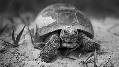 Animals Photos - 70 / Gopher Tortoise by Patrick M Lynch