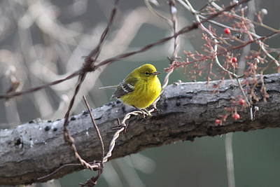 Travel Rights Managed Images - Pine Warbler Royalty-Free Image by Travis Truelove