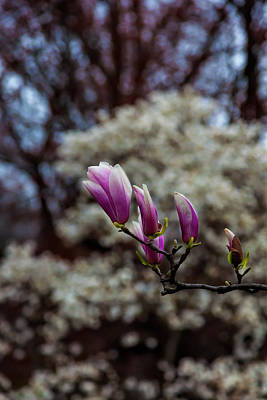 Science Collection Rights Managed Images - Magnolia Blossom Royalty-Free Image by Robert Ullmann