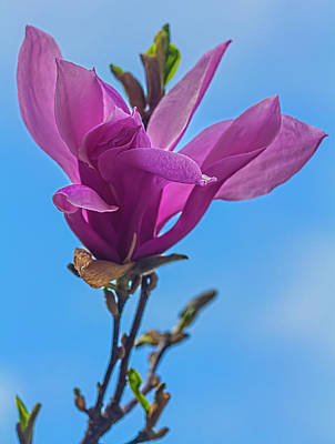 Mans Best Friend - Magnolia Blossom by Robert Ullmann