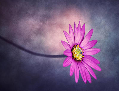 Queen Rights Managed Images - A Daisy Daydream Royalty-Free Image by Bill Tiepelman
