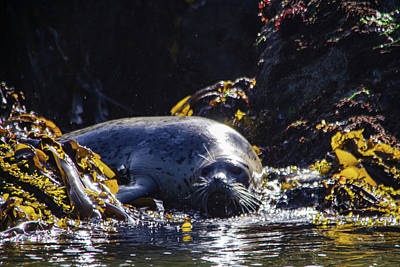 Royalty-Free and Rights-Managed Images - A fat harbor seal by Jeff Swan