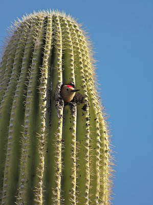 David Bowie Royalty Free Images - A Gila Woodpecker in a Saguaro, Tucson, AZ, USA Royalty-Free Image by Derrick Neill