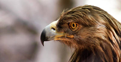 Bicycle Patents - A Golden Eagle in Profile, Huachuca Mountains, AZ, USA by Derrick Neill
